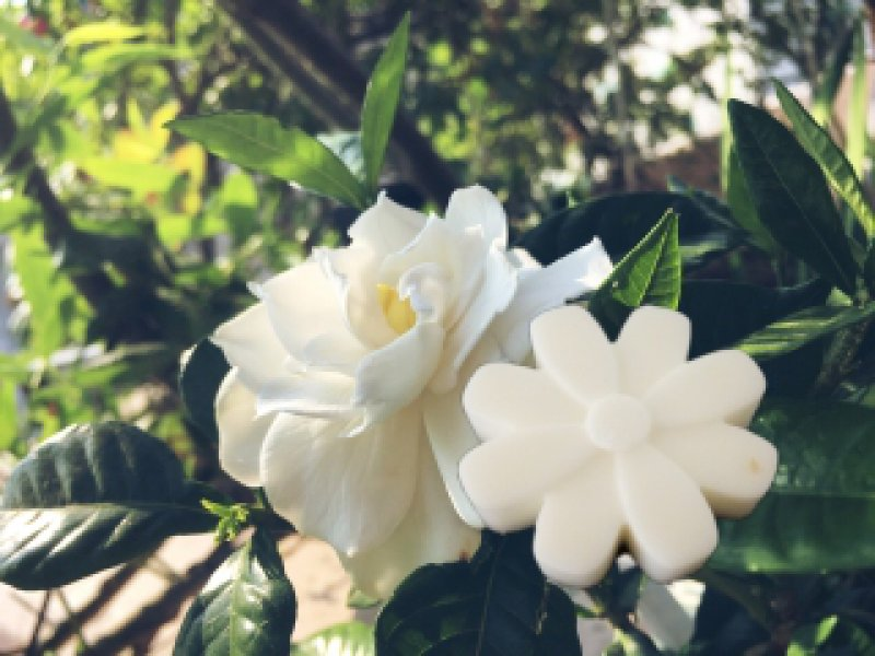 greatgardenia